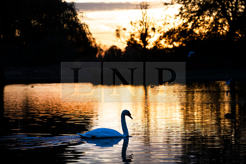 © Licensed to London News Pictures. 03/11/2018. London, UK. A swan in Heron Pond at sunrise in Bushy Park, south west London. The remains of hurricane Oscar are expected affect parts of the UK overnight bringing high winds and rain. Photo credit: Peter Macdiarmid/LNP