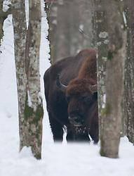 Wisent tussen bomen in de sneeuw; European Bison in snow