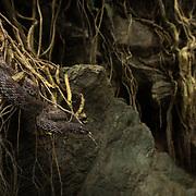 Mangrove Pit Viper (Trimeresurus purpureomaculatus) in Ranong, Thailand
