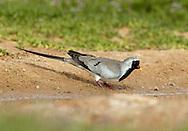 Namaqua Dove - Oena capensis