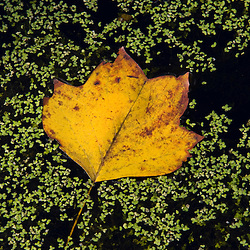 The leaf from a Tulip poplar tree, Liriodendron tulipifera, floats in duckweed in a beaver pond.  Nehantic State Forest in Lyme, Connecticut.  ]