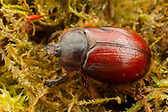 Rain Beetle (Pleocoma dubitabilis dubitabilis) female<br /> OREGON: Benton Co.<br /> Lewisburg Saddle, 2 miles N Corvallis, elev; 1050'<br /> 19-Oct-2017<br /> J.C. Abbott &amp; K.K. Abbott