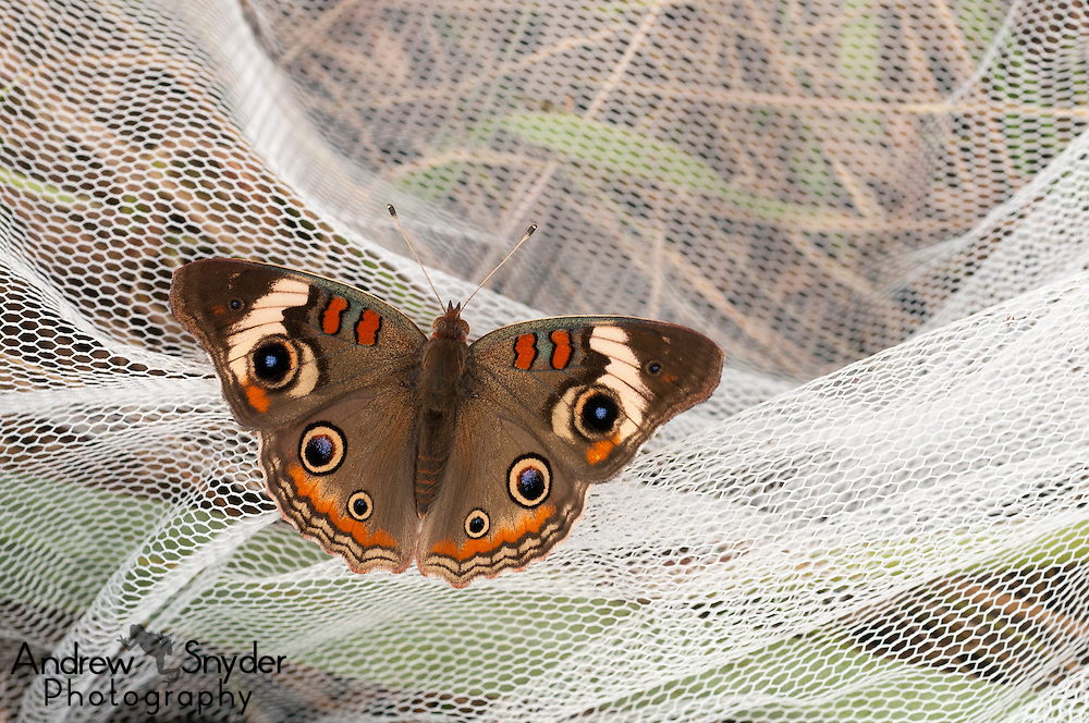 A common buckeye (Junonia coenia) resting on a butterfly net - Oxford, Mississippi