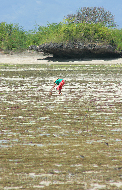 A Filipino woman collecting shellfish on exposed tidal mudflats, Olango Island, Cebu, Philippines