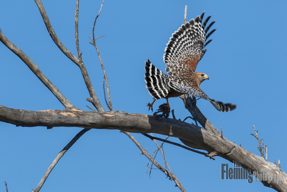 Red-shouldered hawk taking off from tree with prey in its talons