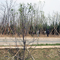 Asia, China, Beijing. Public landscapers plant trees in an effort to green up Beijing's roadways for the 2008 Summer Olympics.