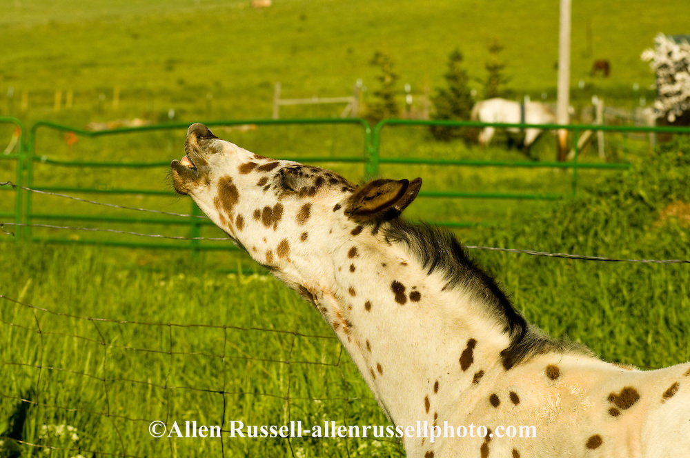 Leopard Appaloosa, colt, displaying Flehmen Response, <br /> PROPERTY RELEASED