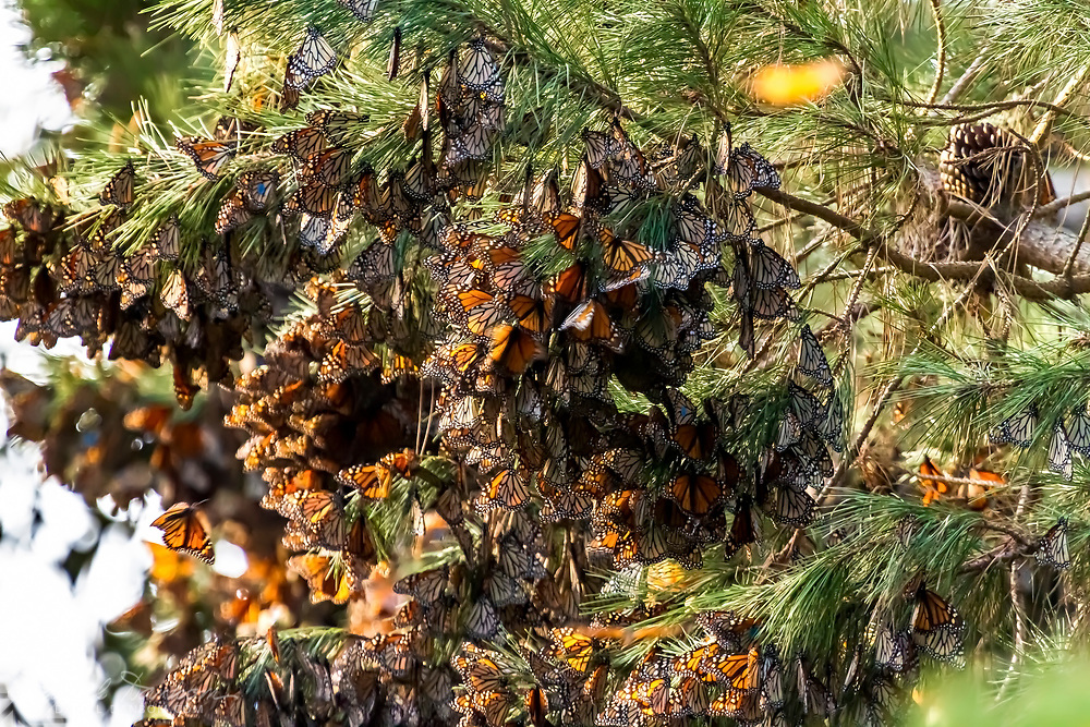 Hanging clusters of Monarch Butterflies, at the Pacific Grove, California