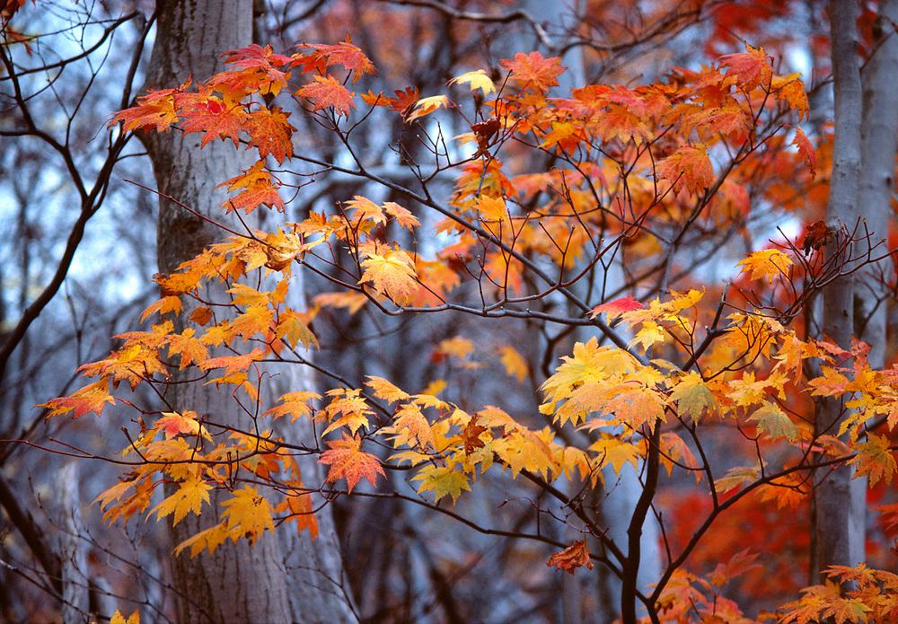 Backlighting intensifies the colors in these orange maple leaves in Nikko National Park in Japan.