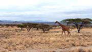 Reticulated giraff (Giraffa camelopardalis  reticulata) on the dry savannah of Samburu National Reserve, Kenya