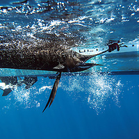 Saltwater Sailfish