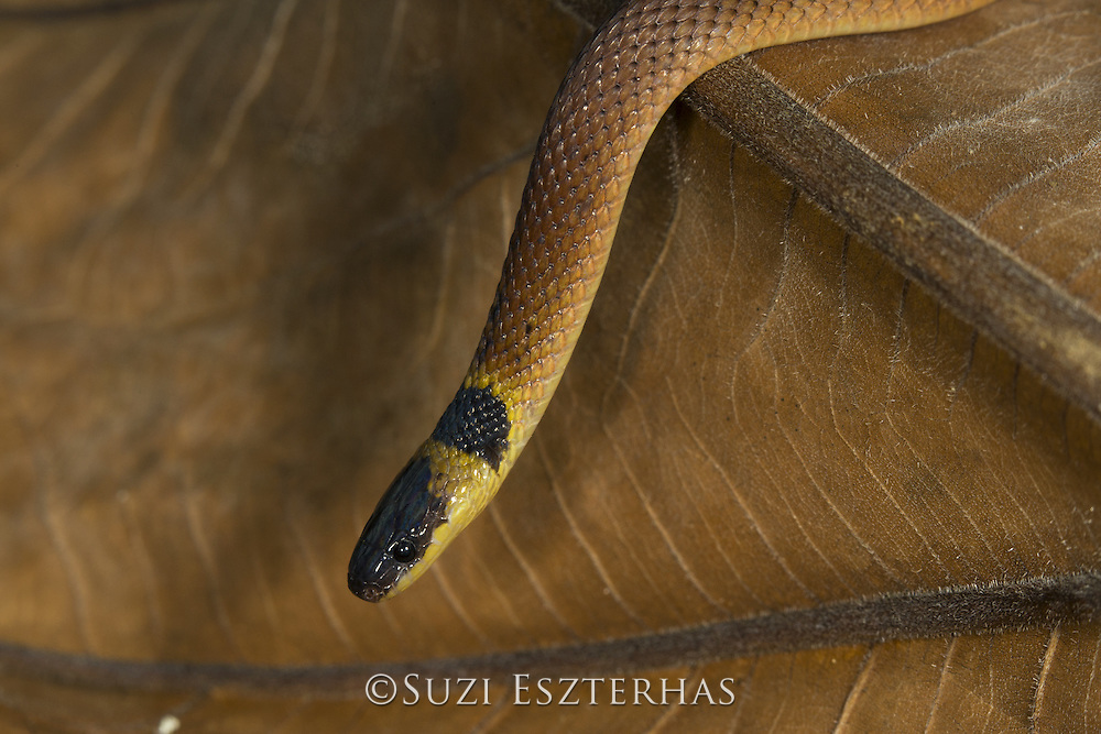 Red coffee snake <br /> Ninia sebae<br /> Northern Costa Rica, Central America