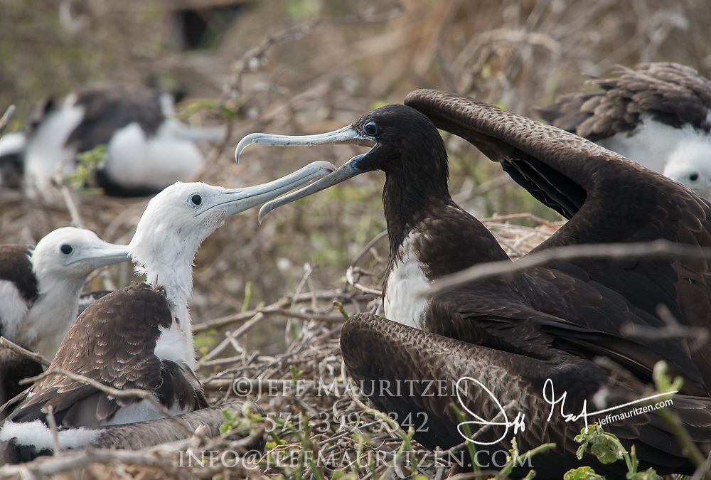 A juvenile frigatebird is fed by its mother on a nest on North Seymour island in the Galapagos.