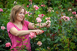 Deadheading roses to ensure longer flowering season
