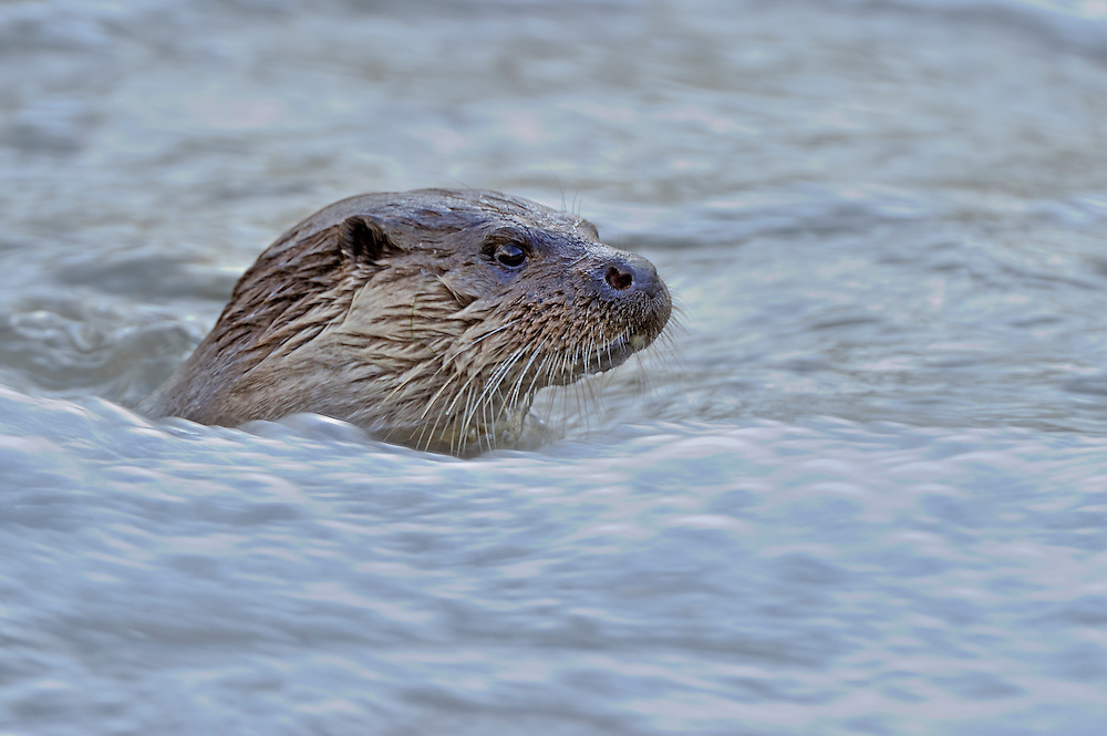 European Otter<br /> (Lutra lutra)<br /> in fast flowing water<br /> Wales, UK