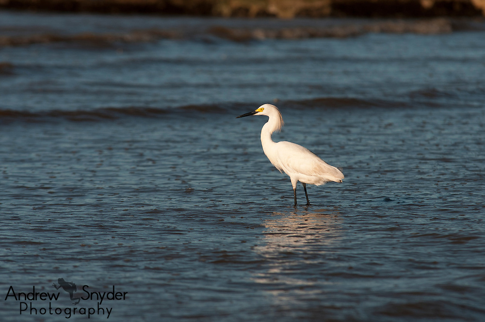 Cattle egret (Bubulcus ibis) on beach in Georgetown, Guyana.
