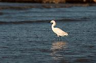 Cattle egret (Bubulcus ibis) on beach in Georgetown, Guyana.