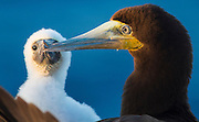 CAYMAN BRAC, CAYMAN ISLANDS: JANUARY 31, 2015 -- A brown booby and chick nest along the east bluff of Cayman Brac, Cayman Islands, January 31, 2015.     (Steve McKinley photo)
