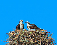 Osprey Couple on Their Grand Nest in Ft Desoto Park in Florida. Image taken with a Nikon D3x camera and 600 mm f/4 VR lens (ISO 100, 600 mm, f/8, 1/500 sec).