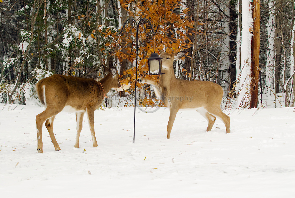 Two white-tailed deer eat bird seed from feeders in a Gatineau, Qc backyard.