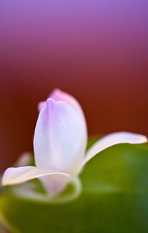 Soft, pink petal with purple and green background.