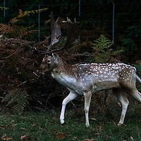 Deer rutting season in Richmond Park