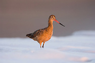 Marbled Godwit (Limosa fedoa) in the surf