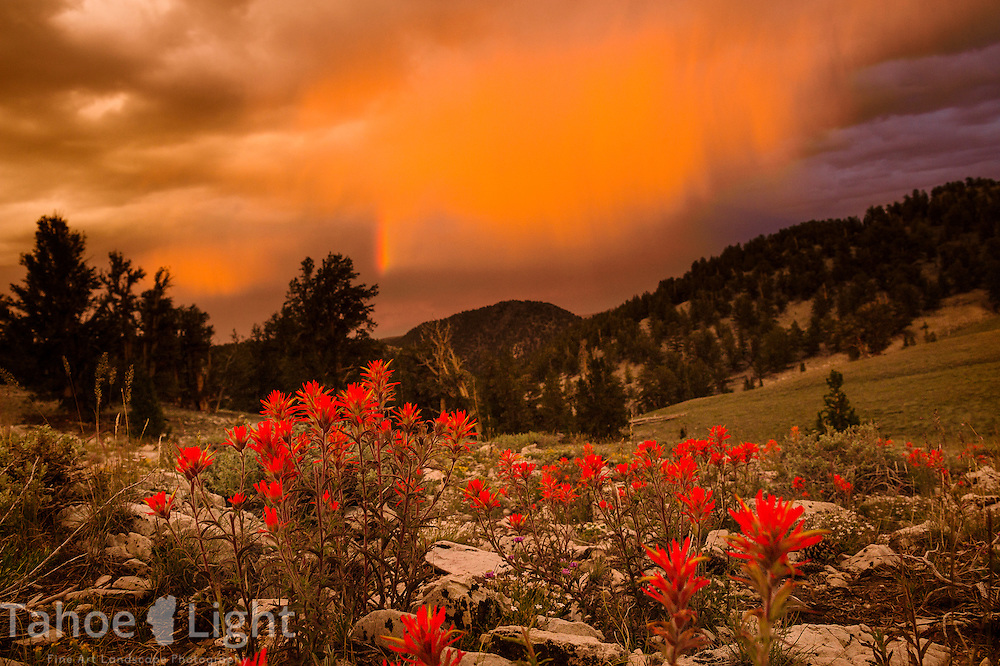 Bristlecone pine trees on hillside with rainbow and indian paintbrush flowers during storm in the White Mountains just outside of Bishop, CA