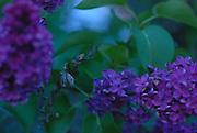 Purple Lilacs