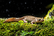 Pacific Giant Salamander (Dicamptodon tenebrosus) photographed in the rain at night near Mt. Defiance in the Columbia River Gorge, Oregon.