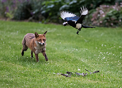 © Licensed to London News Pictures. 18/05/2020. London, UK. A fox fights with two Black-billed magpies for the remains of a pigeon it caught in the early hours of the morning, in St James's Park, central London. Photo credit: Ben Cawthra/LNP