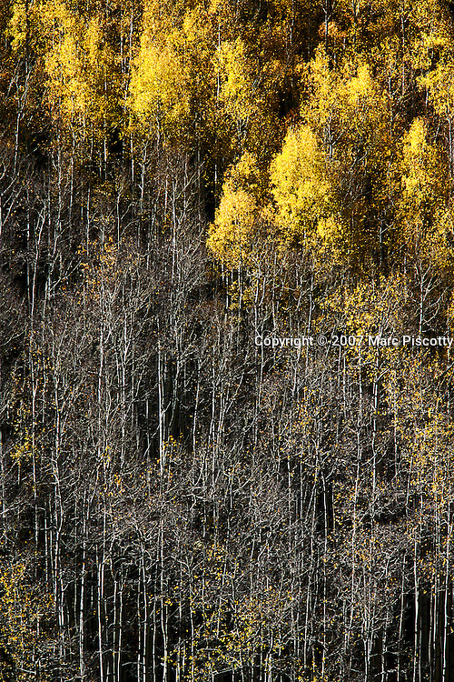 SHOT 9/27/2007 - Photos of aspen trees turning yellow as the fall foliage season comes to a peak in Colorado. The aspen trees were located in the White River National Forest near Vail, Co. Populus tremuloides, the Quaking Aspen or Trembling Aspen, is a deciduous tree native to cooler areas of North America and is generally found at 5,000-12,000 feet. The name references the quaking or trembling of the leaves that occurs in even a slight breeze due to the flattened petioles. It propagates itself by both seed and root sprouts, and extensive clonal colonies are common. Each colony is its own clone, and all trees in the clone have identical characteristics and share a root structure..(Photo by Marc Piscotty/ © 2007)