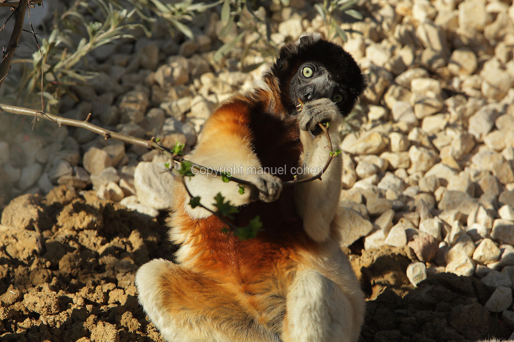 Crowned sifaka (Propithecus coronatus) eating leaves from a branch, an endangered species of the lemur family from Madagascar, in the Propithecus enclosure in the Zone Madagascar of the new Parc Zoologique de Paris or Zoo de Vincennes, (Zoological Gardens of Paris or Vincennes Zoo), which reopened April 2014, part of the Musee National d'Histoire Naturelle (National Museum of Natural History), 12th arrondissement, Paris, France. Picture by Manuel Cohen
