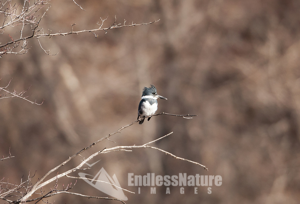 A male Belted Kingfisher perched over the south fork of the Ogden River in northern Utah.