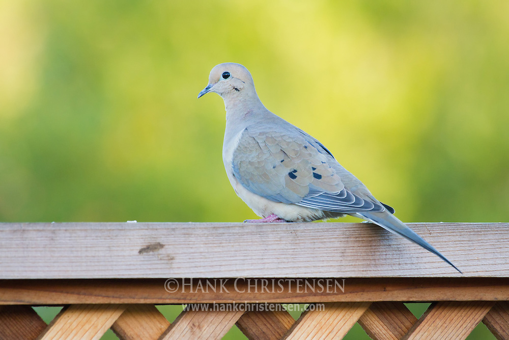 A mourning dove perches on a fence