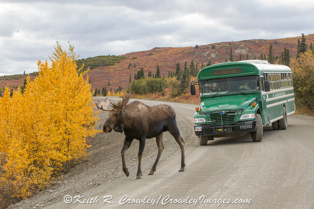 Alaskan bull moose walks across the Park Road in Denali National Park while visitors watch from one of the park's many shuttle buses.