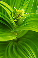Corn Lily/False Helebore