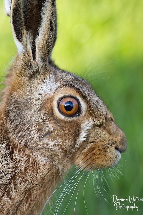 European hare, Lepus europaeus - portrait showing large eye, Cheshire - April