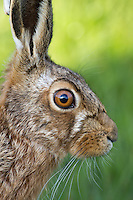 European hare, Lepus europaeus - portrait showing large eye, Cheshire - April