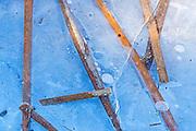 Cattails frozen in ice in the Seine River <br /> Winnipeg<br /> Manitoba<br /> Canada