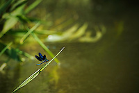 The banded demoiselle (Calopteryx splendens) along slow-flowing stream, a tributary of the old Danube, Danube Delta, Romania.