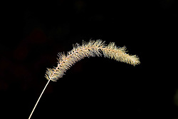 10 Oct 2011: Foxtail grass. Rural Indiana, specifically in or close to Brown County.