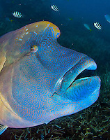 Great Barrier Reef, Australia and marine life with Wally the Maori Wrasse
