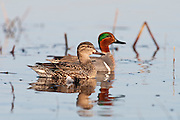 Green-winged Teal, Anas crecca carolinensis, male and female, Erie Marsh, Michigan