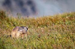 THEMENBILD - ein Murmeltier auf einer Bergwiese auf der Grossglockner Hochalpenstrasse, Heiligenblut, Oesterreich, aufgenommen am 31. Juli 2015 // A marmot on a mountain meadow at the Grossglockner High Alpine Road, Heiligenblut, Austria on 2015/07/31. EXPA Pictures © 2015, PhotoCredit: EXPA/ JFK