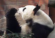 A panda stretches his leg in between naps at the Beijing zoo April 7. The giant panda is China's most treasured endangered animal, but poachers and human development have taken their toll on the bear-like animal which now number about 1,000 still living in the wild. Killers of pandas have faced the death penalty in China.