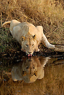 Lion drinking water in Serengeti National Park and Ngorongoro Crater Conservation Area in Tanzania, Africa. ©Brett Wilhelm
