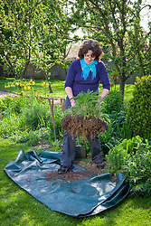 Dividing a perennial (Achillea) using the back to back fork method. Digging up