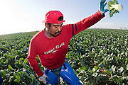 28 NOVEMBER 2006 - SAN LUIS, AZ:  A farm worker harvests broccoli on a farm near Yuma, AZ. Farmers and agricultural producers around Yuma, AZ, are facing a growing shortage of farm workers. Increased border enforcement have deterred many illegal workers from seeking work in Arizona and long lines at the ports of entry for legal workers are leading to the labor shortage. Some labor contractors are reporting as much as a 40 percent shortage of farm workers, Yuma farmers planted 15 percent fewer acres this year, compared to last, because of the shortage. More than 100,000 acres of iceberg lettuce are cultivated in Yuma county and more than 50,000 people are employed as seasonal farm workers at the height of the harvest, which is December through February. Nearly 3,500 seasonal farm workers stand in line for up to two hours every morning at the San Luis, AZ, Port of Entry to enter the US legally to work in the fields. Experienced workers can make as much as $14 (US) per hour during the harvest.  PHOTO BY JACK KURTZ