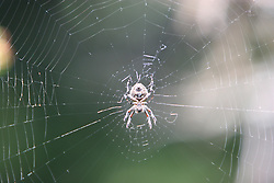 A spider in its web, Glacier National Park, Montana